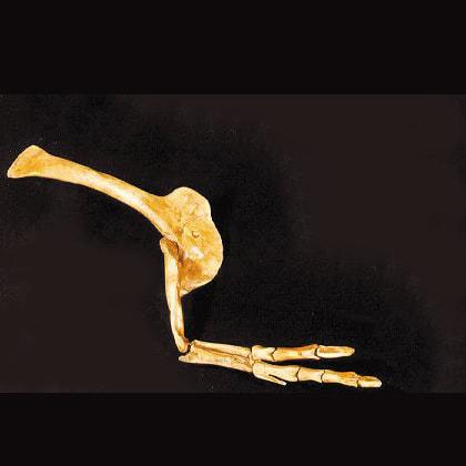 albertosaurus arm hand replica