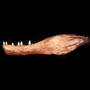 albertosaurus lower jaw fossil