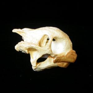aldabra giant turtle skull