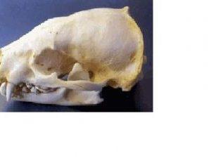 American Badger Skull Replica