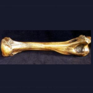 american lion humerous bone