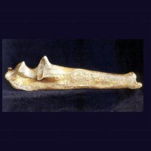 american lion radius bone