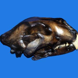 american lion skull replica