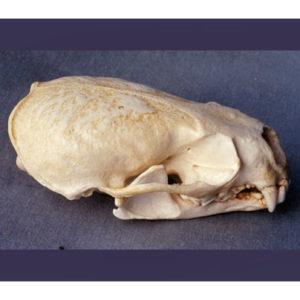 american river otter skull