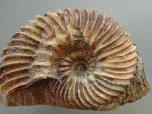 Ammonite Hophites Deutatus Albieno Aude Replica