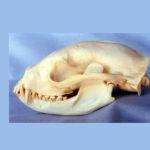 arctictis-binturong-skull-replica-RS002
