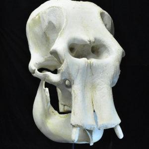 Elephant Skull Replicas