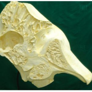 asian elephant half skull