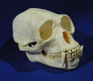 Siamang Gibbon Adult Male Skull