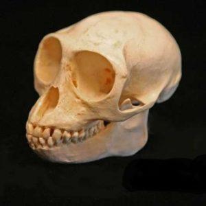Douc Langur Skulls Replica Model