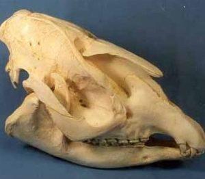 Bairds Tapir Skull
