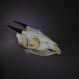 bay duiker skull replica