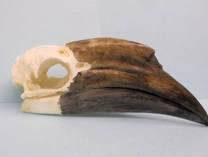Black Casqued Female Hornbill Skulls Replicas Models