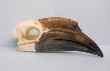 Black Casqued Female Hornbill Skulls Replicas Models
