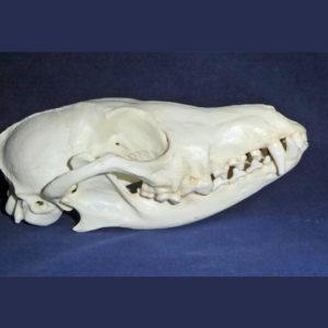 black backed female jackal skull