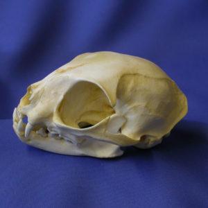 black footed cat skull