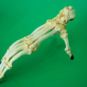 bornean orangutan adult foot