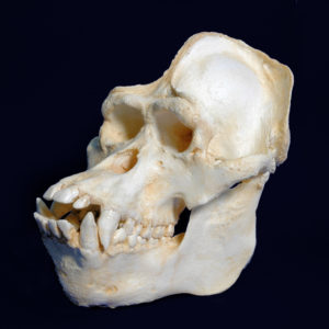 bornean orangutan male skull