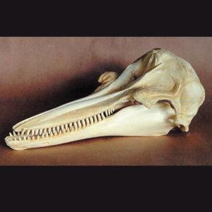 bottlenose dolphin skull replica