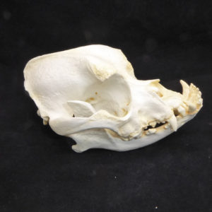 boxer dog skull replica