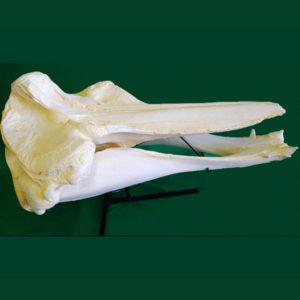 bairds beaked whale skull