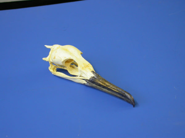 brandts cormorant female skull