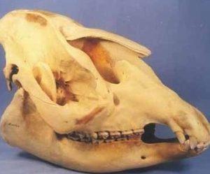 Brazilian Tapir Female Skull