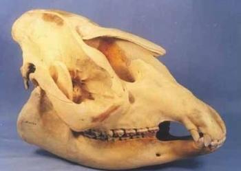 Brazilian Tapir Skull Female Replica