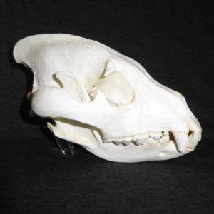 brown hyena skull replica