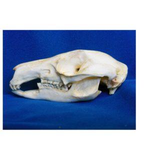 brush-tailed rock wallaby skull