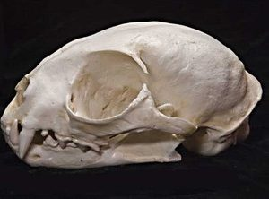 Margay Female Skulls Replicas Models