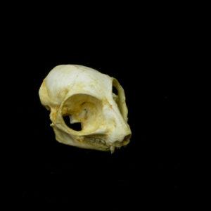 bush baby skull replica