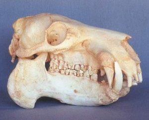 Pygmy Hippopotamus Adult Female Skulls Replicas Models