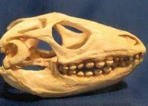 Caiman Lizard Skull Replica