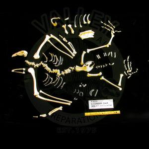 california condor disarticulated skeleton