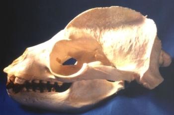 California Sea Lion Male Skull