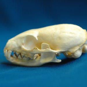 cape gray mongoose skull