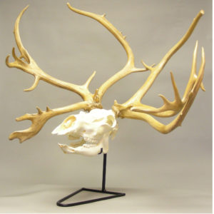 Reindeer and Moose Skulls