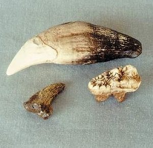 Cave Bear Claw Canine and Molar Replicas