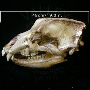 cave bear skull replica