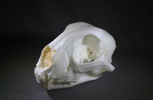 Cheetah Female Skull Replicas Models