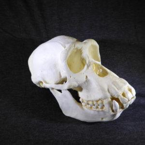 chimpanzee female skull replica