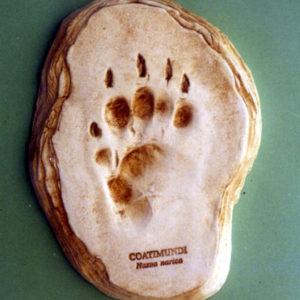 coatimundi footprint cast replica