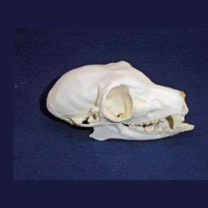 common brown lemur skull