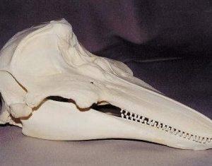 Common Harbor Porpoise Skull Replica