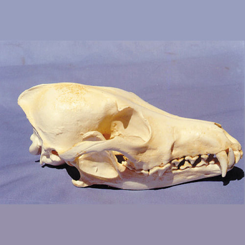 coyote male skull replica