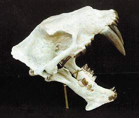 Sabertooth Tiger Cat Skulls Replicas Models