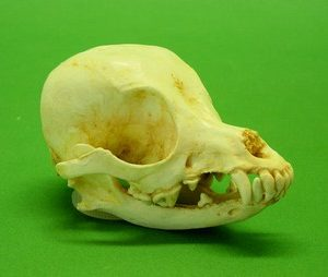 Chihuahua Dog Skull Replica