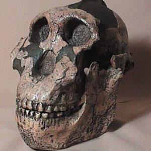 Zinjanthropus Skulls Replicas Models