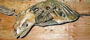 Cretaceous Sea Turtle Skeleton